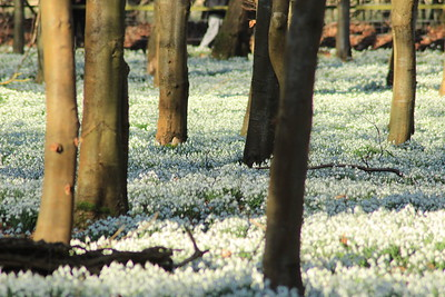Snowdrop carpet, Welford Park