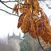 Autumnal horse chestnut, West Dean
