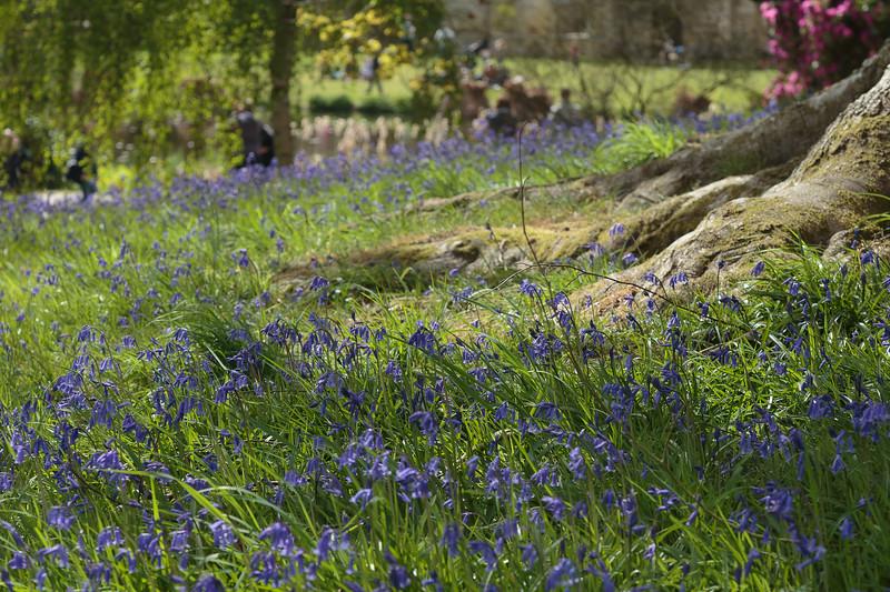 Bluebells at Scotney Castle