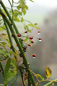 Rainy rosehips,  West Dean Gardens
