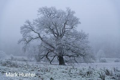 Iced Oak Tree