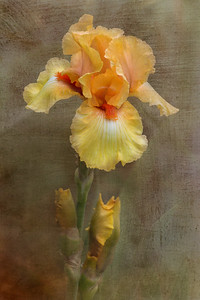 Emergence I -- Crackling Caldera Bearded Iris
