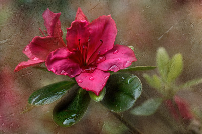 Rainy Days -- 'Hershey's Red' Azalea