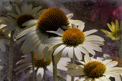 "Times Gone By -- ""PowWow' White Echinacea"