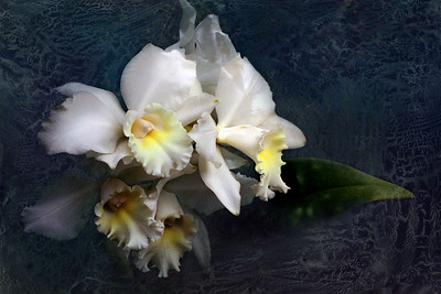 Frosted Window -- Cattleya Wendy Patterson 'Polaris'