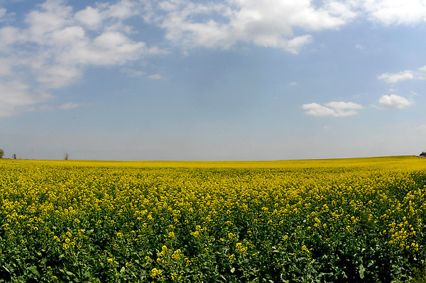 A canola field in bloom southwest of Enid Monday. (Staff Photo by BILLY HEFTON)