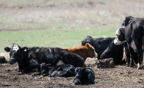 Young calves rest near their mothers as temperatures climb into the low 80s Saturday, April 6, 2013. Drought conditions have had a significant effect on the cattle industry. (Staff Photo by BONNIE VCULEK)