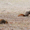 Squirrels eat an early morning snack as Enid golfers play the 3rd round of the Dick Lambertz Memorial Enid 4-ball at Meadowlake Golf Course Saturday, April 13, 2013. (Staff Photo by BONNIE VCULEK)