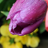 Frozen droplets of water appear on a drooping tulip outside Uptown Florists Tuesday, April 23, 2013. Even though temperatures have been alternating between freezing and the upper 70s over the past few days, Dan Long, owner of the Enid business at 823 W. Broadway, believes the tulips he planted last fall are hardy enough to survive with the drastic temperature changes. (Staff Photo by BONNIE VCULEK)