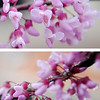 Spring blooms glisten in the morning light Tuesday (top) before a winter storm coats them with ice (bottom) in Enid Wednesday, April 10, 2013. Mother Nature plunged temperatures from 80 degree weather down to the upper 20s as the storm produced high winds, thunder, lightning, rain, and sleet across much of Oklahoma. (Staff Photo by BONNIE VCULEK)