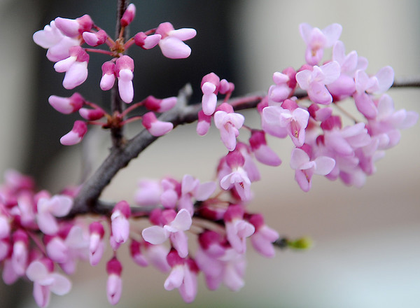 Beautiful blooms adorn a tree branch in downtown Enid Tuesday, April 10, 2013. (Staff Photo by BONNIE VCULEK)