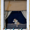 A dog watches the world pass by from it's home on north Washington Monday. (Staff Photo by BILLY HEFTON)