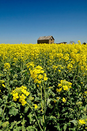 A canola field blooms along highway 74 south of Garber Sunday. (Staff Photo by BILLY HEFTON)