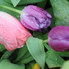Frozen droplets of water appear on drooping tulips and their foliage outside Uptown Florists Tuesday, April 23, 2013. Even though temperatures have been alternating between freezing and the upper 70s over the past few days, Dan Long, owner of the Enid business at 823 W. Broadwat, believes the tulips he planted last fall are hardy enough to survive with the drastic temperature changes. (Staff Photo by BONNIE VCULEK)