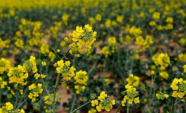 A canola field near the intersection of Garland and Rupe. (Staff Photo by BILLY HEFTON)