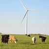Cattle & Wind Turbine
