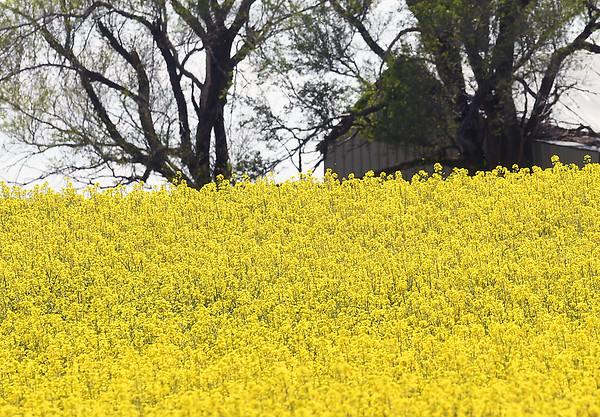 Canola Blooms