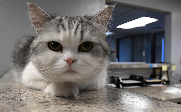 Larry, one of the house cats at The Cat Resort, sits on a counter Wednesday April 18, 2018. (Billy Hefton / Enid News & Eagle)