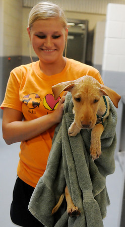 Kelsey Pettus, a volunteer at the Enid Animal Control Center, finishes the bathing on a young puppy Wednesday, August 21, 2013. Thanks to the generosity of individual donations, the Enid SPCA recently purchased two Port-a-Cool units for the center. (Staff Photo by BONNIE VCULEK)