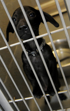 An eight-week-old Chihuahua/Dachshund, weighing approximately 3 pounds, peers through the entrance of one of the interior dog pens at the Enid Animal Control Center Wednesday, August 21, 2013. The owners surrendered their pet because they could not keep it at their new apartment. Thanks to the generous donations to the Enid SPCA, two new Port-a-Cool units were delivered to the Enid Animal Control Center three weeks ago. (Staff Photo by BONNIE VCULEK)