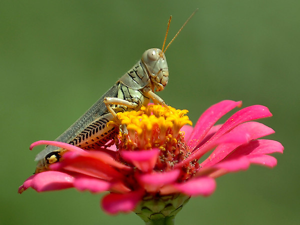 A grasshopper sits atop a flower at Dillingham Garden Monday. (Staff Photo by BILLY HEFTON)