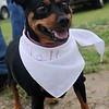 """Molly enjoys """"Dog Days of Summer"""" at Enid Farmers Market Saturday, August 3, 2013. (Staff Photo by BONNIE VCULEK)"""