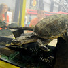 A giant snapping turtle explores his new surroundings as individuals peer into the holding tank during the Greater Oklahoma Sportsman's Outdoor Expo at the Chisholm Trail Expo Center Saturday, August 24, 2013. (Staff Photo by BONNIE VCULEK)