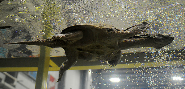 Giant Snapping Turtle (Staff Photo by BONNIE VCULEK)