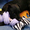 Gypsy, a terrier-mix puppy, snuggles up to his toys at the Enid Animal Control Center Friday, August 28, 2014. Gypsy and several other dogs and cats are currently available for adoption. (Staff Photo by BONNIE VCULEK)