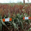 Grain Sorghum Tour of plotted field west of Cherokee Tuesday, August 26, 2014. (Staff Photo by BONNIE VCULEK)