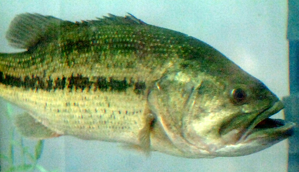 A large black bass swims inside a large holding tank at the KNID Sportsman's and Outdoor Expo in the Chisholm Trail Coliseum Saturday, August 23, 2014. (Staff Photo by BONNIE VCULEK)