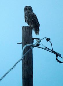 An owl surveys his surroundings at twilight Thursday, August 28, 2014. (Staff Photo by BONNIE VCULEK)