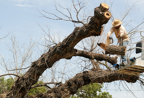 Jose Quinonez, with Rocky's Tree Service, removes a 130-year-old American Elm from the front yard of Brown Cummings Funeral Home Friday, August 15, 2014. Jos. Lamerton, from Lamerton Woodworking will use section of the tree to create furnishings for the Enid business. (Staff Photo by BONNIE VCULEK)