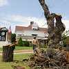 Jose Quinonez, with Rocky's Tree Service, walks around the enormous base of an American Elm as he removes the 130-year-old tree from the front yard of Brown Cummings Funeral Home Friday, August 15, 2014. Jos. Lamerton, from Lamerton Woodworking will use section of the tree to create furnishings for the Enid business. (Staff Photo by BONNIE VCULEK)