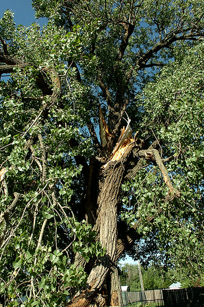 Giant tree branches snapped in 70 mile per hour winds as severe thunderstorms moved through Enid Monday, August 18, 2014. OG&E line crew technicians spent late Monday and Tuesday repairing electric service to more than 100 homes. (Staff Photo by BONNIE VCULEK)