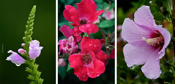 Raindrops cling to flowers at Dillingham Garden Saturday morning August 12, 2017. (Billy Hefton / Enid News & Eagle)
