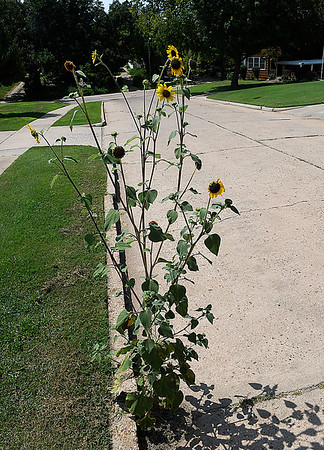 A wild sunflower grows from a crack in the street on east Maple August 30, 2017. (Billy Hefton / Enid News & Eagle)