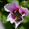A pollen covered bumble bee inside a flower at Dillingham Garden August 22, 2017. (Billy Hefton / Enid News & Eagle)