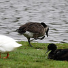 A Canadian goose with an injuried leg stands among the ducks at Meadowlake Park Saturday August 12, 2017. (Billy Hefton / Enid News & Eagle)