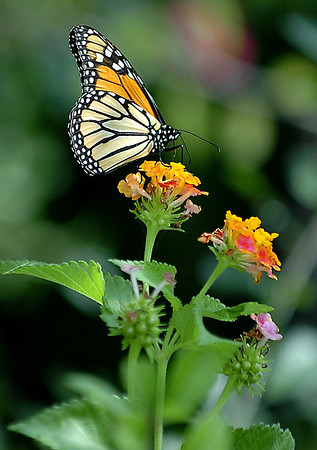 An early returning Monarch butterfly sits atop a flower at Dillingham Garden Wednesday. (Staff Photo by BILLY HEFTON)