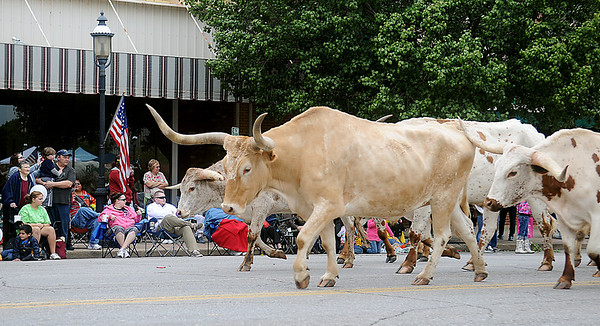 The crowd watches as Longhorn steers mosey around Enid's downtown square during the Cherokee Strip Parade Saturday. (Staff Photo by BONNIE VCULEK)