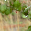 A raindrop clings to a leaf Thursday at Dillingham Garden as thirsty Plants and flowers got a welcomed drink from the rain that moved across the state. The Oklahoma Mesonet site at Breckinridge recorded 1.61 inches of rain as of Thursday afternoon. (Staff Photo by BILLY HEFTON)