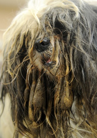 A Shih Tzu's eyes are barely visible through her long matted and feces covered hair Saturday at the Enid SPCA. The dog was one of 30 seized by the Harper County Sheriff Department after the owner was arrested upon surrender in Buffalo, Okla. (Staff Photo by BONNIE VCULEK)