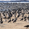 "Geese gather near ""Caution Deep Water No Swimming or Wading"" and Danger Thin Ice"" signs at Meadowlake Park Tuesday, Dec. 10, 2013. (Staff Photo by BONNIE VCULEK)"