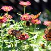 Five Monarch Butterflies