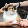 Casey, a Calico feline owned by Joyce Bean, purrs as children pamper her at Choices Institute Friday, Feb. 15, 2013. (Staff Photo by BONNIE VCULEK)