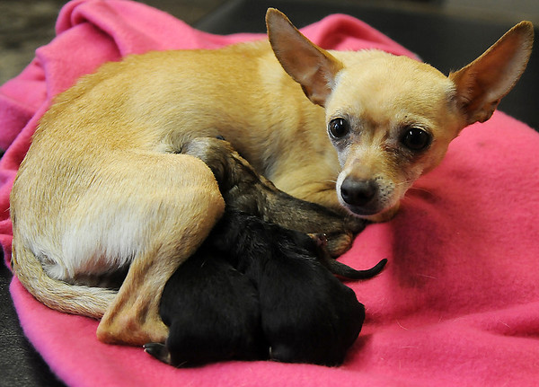 Less than 48 hours before a Chihuahua was dropped off at the Enid Animal Control facility, the female was nursing her litter of four female puppies Thursday, Feb. 14, 2013. The first Valentine surprise was born in the Chihuahua's pen and the other three were delivered in the EAC office. Following delivery, all five were transported to Wheatland Animal Clinic by EAC volunteer, Rachel Hancock. (Staff Photo by BONNIE VCULEK)