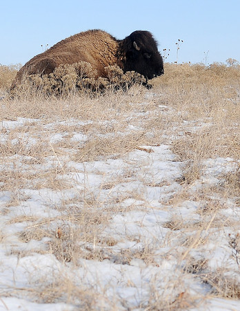 An American Bison seeks shelter from the bitter wind as he rests behind a hill Friday, Feb. 22, 2013. Overnight temperatures dropped into the teens with wind chills in single digits. (Staff Photo by BONNIE VCULEK)