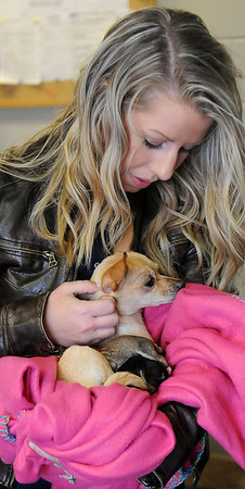 Rachel Hancock, a volunteer at the Enid Animal Control facility, prepares a Chihuahua and her four newborn puppies for transport to Wheatland Animal Clinic. The Chihuahua was one of two found and dropped off at Enid Animal Control less than 48 hours before the female began delivering her Valentine's Day surprises Thursday, Feb. 14, 2013. (Staff Photo by BONNIE VCULEK)