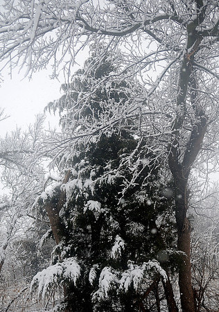 Snow covers tree branches as a winter storm moves through Garfield County Wednesday, Feb. 20, 2013. The National Weather Service has issued a travelers advisory through Thursday as additional snow and sleet accumulations are expected across Northwest Oklahoma. (Staff Photo by BONNIE VCULEK)